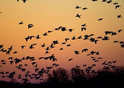 Pink-Footed Geese Over Decoys – Keith, Scotland – From £150