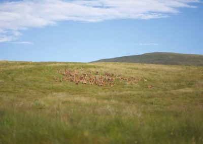 Guided Red Hind Stalking – Thurso – Scotland – From £550